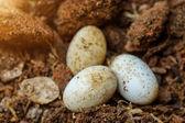 Cobra eggs on the ground. — Stock Photo