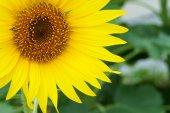 Bright yellow sunflowers — Stock Photo