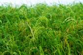 Rice plant are grown in the water — Stock Photo