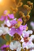 Lagerstroemia macrocarpa flower — Stock Photo