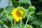 Yellow sunflowers is blooming. — Stock Photo