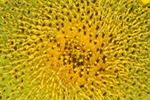 Pollen and petals of sunflowers. — Stock Photo