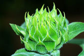 Green young sunflowers. — Stock Photo