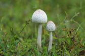 White poisonous mushrooms. — Foto Stock