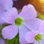 False Shamrock flower. (Oxalis triangularis.) — Stock Photo #54479125