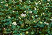 Lotus flower, Thailand. — Stock Photo
