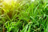 Grass and dew in the garden. — Stock Photo