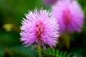 Bella fioritura rosa fiore della pianta sensibile (mimoza) — Foto Stock