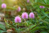 Beautiful blooming pink flower of sensitive plant (mimoza) — Stock Photo