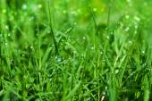 Fresh grass with dew drops in the morning. — Stock Photo