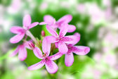 Beautiful blooming pink flowers — Stock Photo