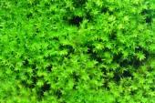 Macro of white frok moss. — Stock Photo