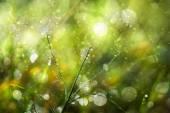 Fresh morning dew on spring grass, natural green light backgroun — Foto Stock