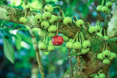 Wild Figs on the branch of a fig tree — Foto de Stock