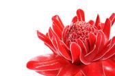 Red flower of etlingera elatior — Stock Photo