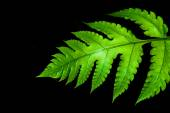 Fresh green leaves of a fern — Stock Photo