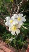 White and yellow Plumeria spp. (frangipani flowers, Frangipani, — Stock Photo