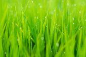 Planta de arroz no campo de arroz — Fotografia Stock
