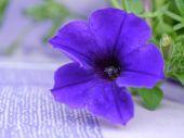 Violet Petunia flower — Stockfoto