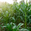 Corn field close-up at the sunset — Stock Photo #69620259