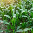 Corn field close-up at the sunset — Stock Photo #69620311