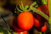 Tomato on Trees — Stock Photo