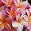 Plumeria flower Mixed color of orange and pink — Stock Photo #70150715