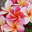 Plumeria flower Mixed color of orange and pink — Stock Photo #70150805