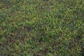 Grass texture from a field — Foto de Stock