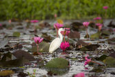 White Bird in nature and water lily. — Stock Photo