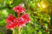 Vackra tropiska röd ingefära blomma — Stockfoto