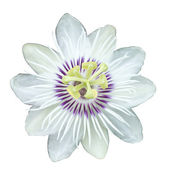 Fetid passionflower,(Passiflora foetida) — Stock Photo