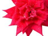 Rose rouge avec des gouttelettes d'eau — Photo