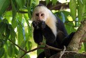 White-faced Capuchin — Stock Photo