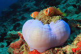 Maldives Anemonefish in an Anemone — Stock Photo