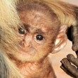 Baby Langur — Stock Photo #70089861