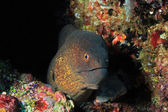 Yellow-edged Moray — Stock Photo
