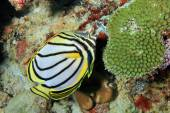 Meyer's Butterflyfish — Stock Photo