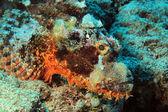 Bearded Scorpionfish — Stock Photo