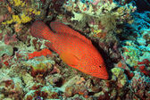 Coral Grouper — Stock Photo