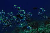 School of Powderblue Surgeonfish — Stock Photo