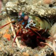 Постер, плакат: Peacock Mantis Shrimp