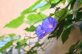 Violet bindweed on wall — Stock Photo