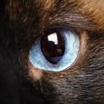 One siamese cat eye macro closeup — Stock Photo #63241087