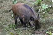 Wildschwein im Wald — Stockfoto