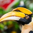 Great Hornbill — Stock Photo #59585845