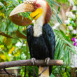Great Hornbill — Stock Photo #59585865