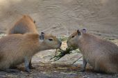 Two capybara — ストック写真