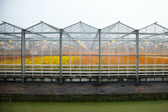 Greenhouse full of blossoming flowers in the netherlands — Stock Photo