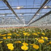 Many yellow flowers in dutch greenhouse — ストック写真